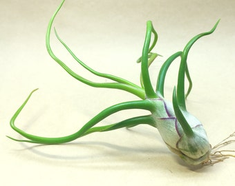Tillandsia Bulbosa Belize Large Form Air Plant (large) // Hello Tilly Airplant