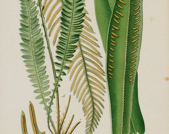 Antique print 1896 BOTANICAL print, lovely chromolithograph of a Ferns