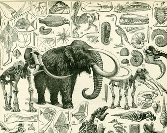 1897 Paleontology Fossils Animals Carnivorous Mammoth Antique Large Size illustration Original Larousse Print 115 years old