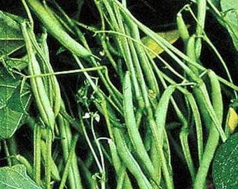 Mountain Half Runner Bean Seed, 1/2 Pound, Heirloom, Non GMO, USA Grown