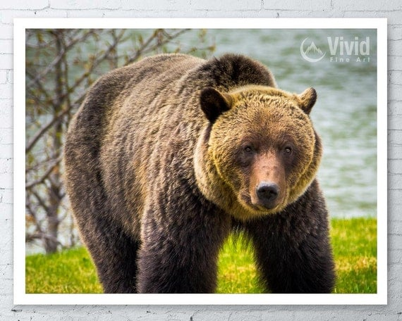 Grizzly bear photo framed bear print grizzly by VividFineArt
