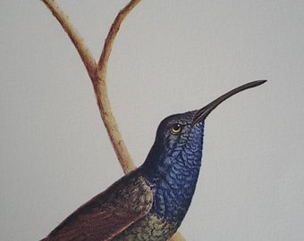 """The Hummingbird"" plank color ""annotated Illustration / natural history Museum / Vintage 70"