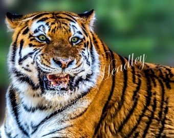 Tiger photography print / digital download / HDR / wildlife / animal / portrait