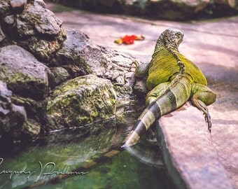 Green Iguana Lay On Side of The Pond Photography, animal, reptile, pet, Lizard, nature, wildlife, digital,instant, download