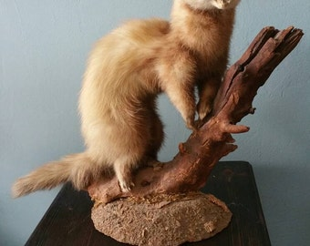Lovely taxidermy ferret on branche! Real animal taxidermied