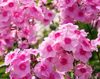 2 Pink Flame - Garden Phlox Root/Plant
