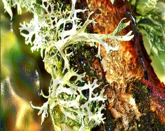 Oak Moss - Evernia prunastri