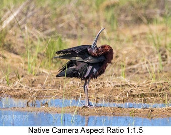 Glossy Ibis #3: Bird art photography prints for home or office wall decor.