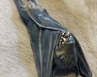 Taxidermy bat