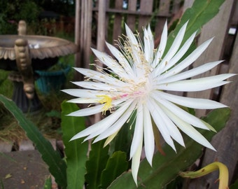 """Lot of 2 cuttings beautiful Night Blooming Orchid Cereus Cactus 10"""" White Blooms"""