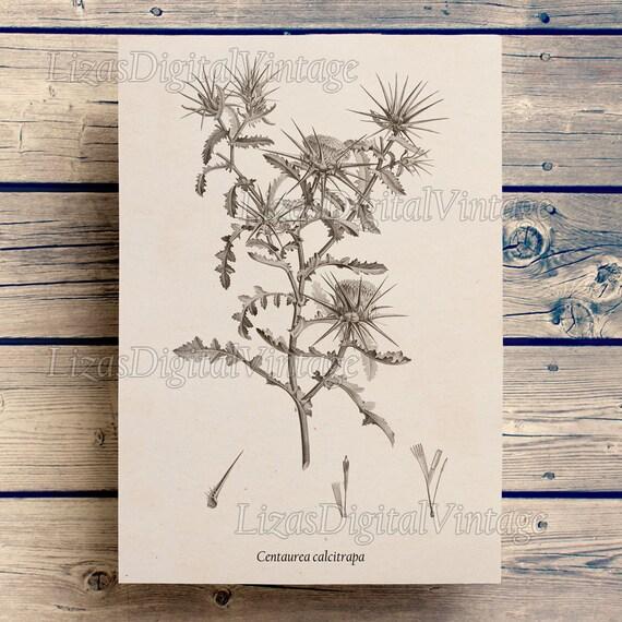 Digital art, Thistle print, Antique botanical print, Star thistle, Instant download art, Botanical art, Art print Vintage, Printable JPG PNG