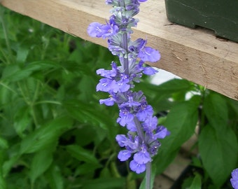 Clary Sage Herb Seeds