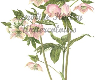 Limited Edition Giclee Print from original watercolour - Hellebore botanical