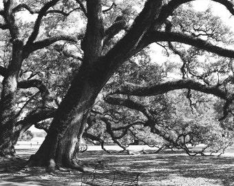 The Majestic Oak of Oak Alley Plantation