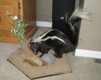 Taxidermy Skunk Mount