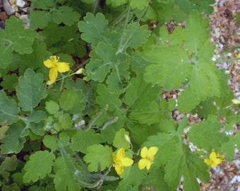 2 Organic Norfolk Celandine Wildflower Root Systems Chelidonium Majas