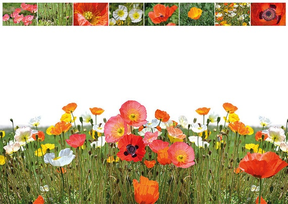 Field of poppies of many colors + Amapolas + Coquelicots
