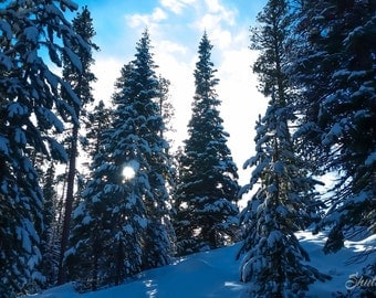 Evergreens in the snow