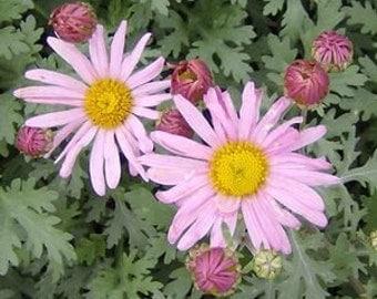 "Chrysanthemum, ""Clara Curtis"", LIVE Plants X3"