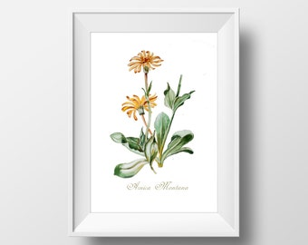 Watercolor Botanical Illustration Arnica Montana Print,Wall Art Print,Printable Botanical Illustration,Watercolor Print,Kitchen,Flora Print