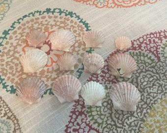 A dozen scallop shells