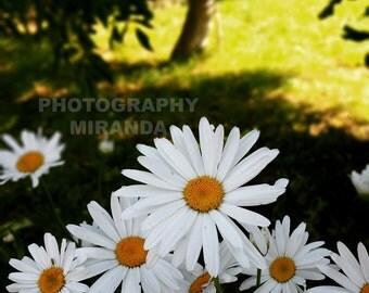 Photography, photography nature, photography flowers, daisies, garden