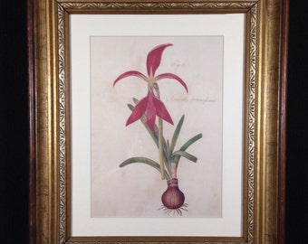 Reproduction of an antique amaryllis print framed in a vintage gold frame.