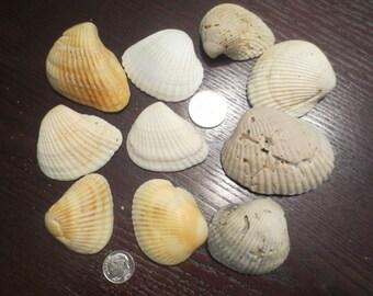 Lot of 10 Medium Size Natural Seashells