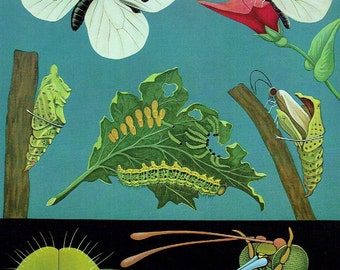 Old School Poster Zoology 1990 Jung-Koch-Quentell Insect White Butterfly Larva Caterpillar Cocoon