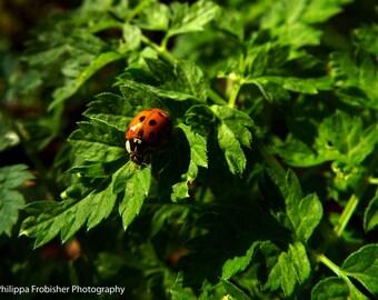 Ladybird on leaves