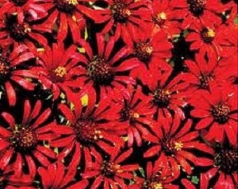 30+ Red Cactus Zinnia Flower Seeds