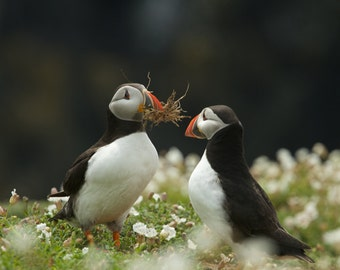 Photographic Print - Fine art print - Two puffins collecting for their nest