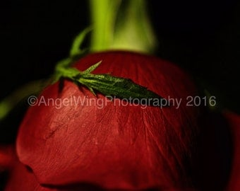 Red Rose - Flower Photography