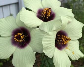 Hibiscus cannabinus 'Amethyst' 20 Seeds