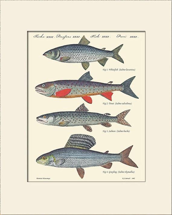 Vintage Fish Print, Salmon, Art Print with Mat, Natural History Illustration, Wall Art, Fish Art, Sea Life Prints, Wall Decor