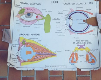 ROSSIGNOL Vintage French School Poster anatomy Two Sides 1950s-1960s 14