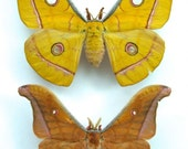 Silk Moth Pair, Antheraea jana, for your project DIY