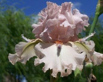 Stilletos,one iris rhizome