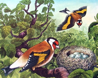 "Goldfinch - 1962 Vintage Bird Print - British Birds and Nests - Naturalist Print for Framing - 9"" x 7.5"""