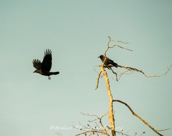 Black Crow Art Photograph in flight two birds blue skies with tree - Thought and Memory - Art Photography by Sarah McTernen