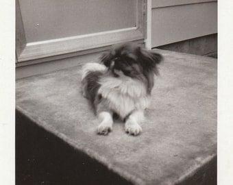 Original Vintage Photograph Adorable Pekingese Dog or Puppy 1940s-50s