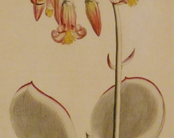 Antique BOTANICAL LILLY FLOWER Print from  1800s hand painted engraving Rare  aprox. 9 1/8X7 1/2 in