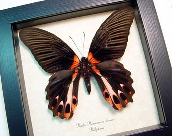 Papilio Rumanzovia Female Scarlet Mormon Real Framed Butterfly 138F
