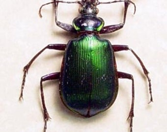 Calosoma Scrutator Real Framed Fiery Searcher Beetle or The Caterpillar Hunter Beetle 7702