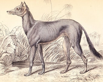 Antique Canine Dog Print . Bedouin Greyhound of Akkaba . Vol II . original old engraving art vintage plate circa 1850