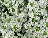 Sweet Alyssum Seed // Organically Grown Carpet-of-Snow // Lobularia Maritima 100 Seeds