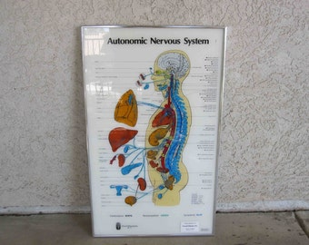 Vintage Medical Poster. Autonomic Nervous System. Circa 1970's.