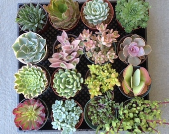 "5 4"" Succulents For Wedding Decor, Centerpieces, Terrarium, Vertical Wall, Urban Chic"