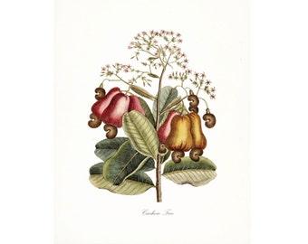 Vintage Cashew Tree Illustration - Traditional Botanical Natural History Giclee Art Print