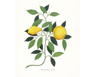Vintage Italian Lemons Botanical Citrus Giclee Print